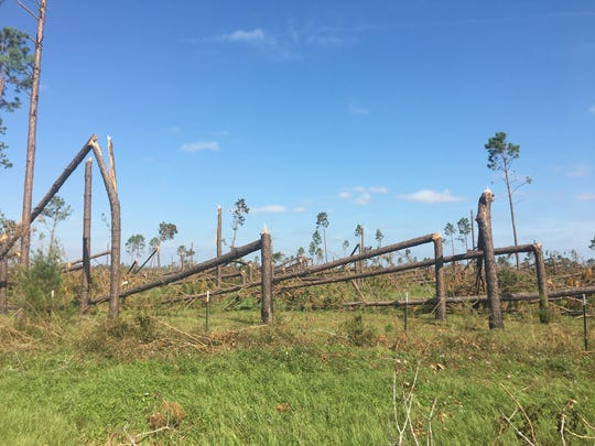 A row of pines was decimated by Hurricane Michael