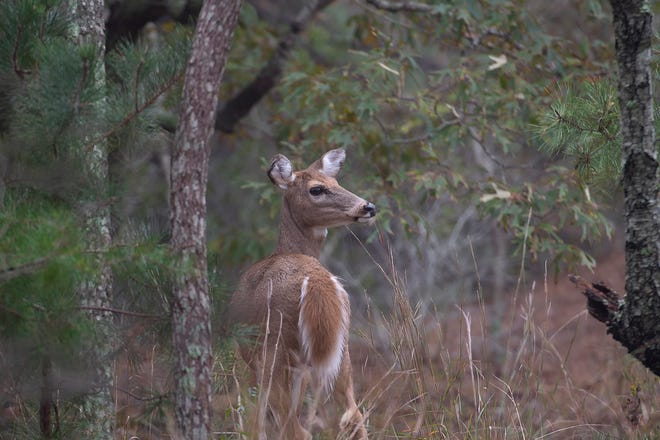 A deer emerged from the woods at Cape Henlopen State Park as a nor'easter moved northeast over the weekend.
