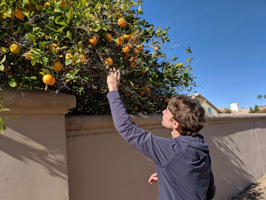 Aren Picks Oranges In Gilbert