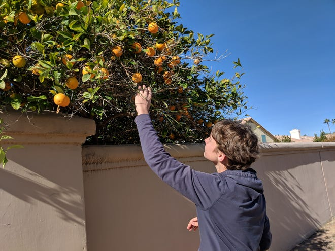 Aren Elliott picks oranges in Gilbert, Arizona, in 2017. Some of the best road food is free.