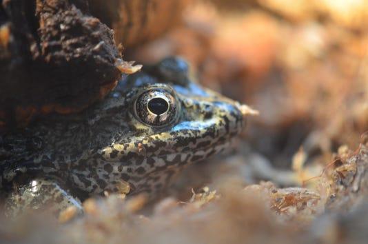 Gopher Frog