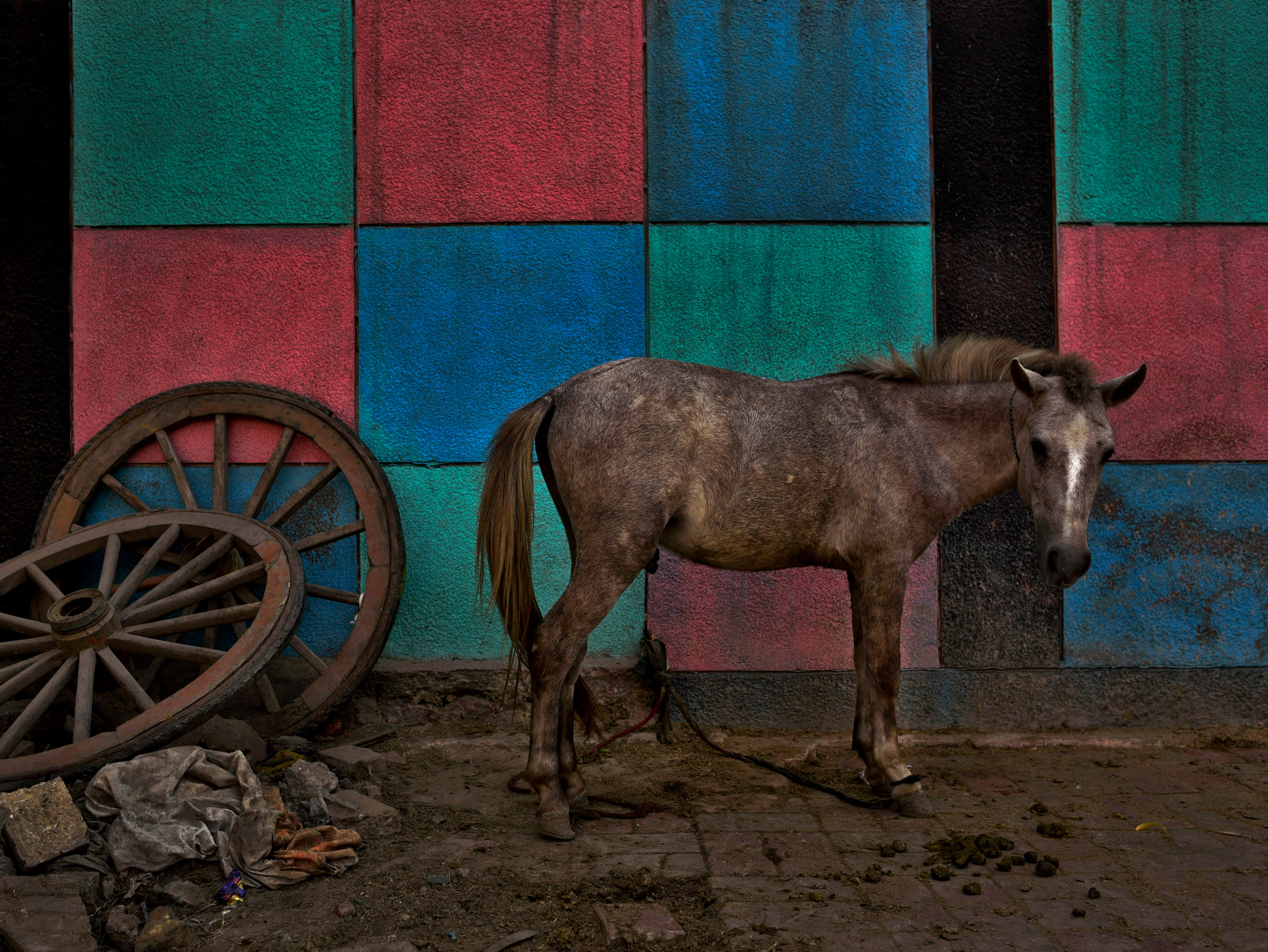 A mule waits next to color patterns painted on a school wall near the wheels of an old cart in New Delhi, India, Sunday, Oct.28, 2018. The animal is used to transport construction material and other goods.