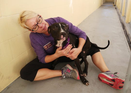 Jennifer Galloway, CEO of the Gulf Coast Humane Society in Fort Myers, cares for Wesker, one of three dogs that were savagely beaten and left to die in Clewiston recently. A rescuer found the dogs, and Clewiston Animal Services brought them to GCHS for emergency care. The dogs are in various stages of recovery. GCHS needs help from the public in paying for surgeries and continued care.