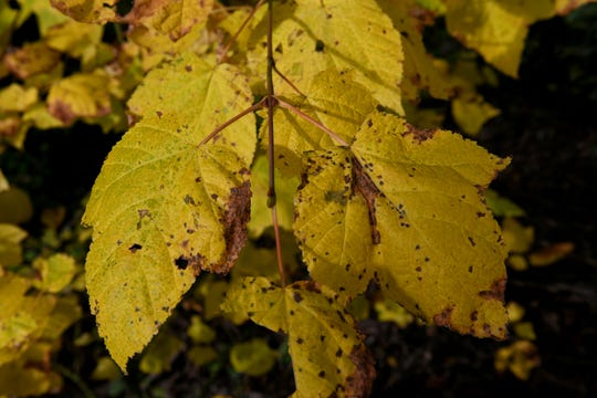 Fall colors should be near their peak for several trees during the fall colors hike at Shelby Bottoms on Saturday.