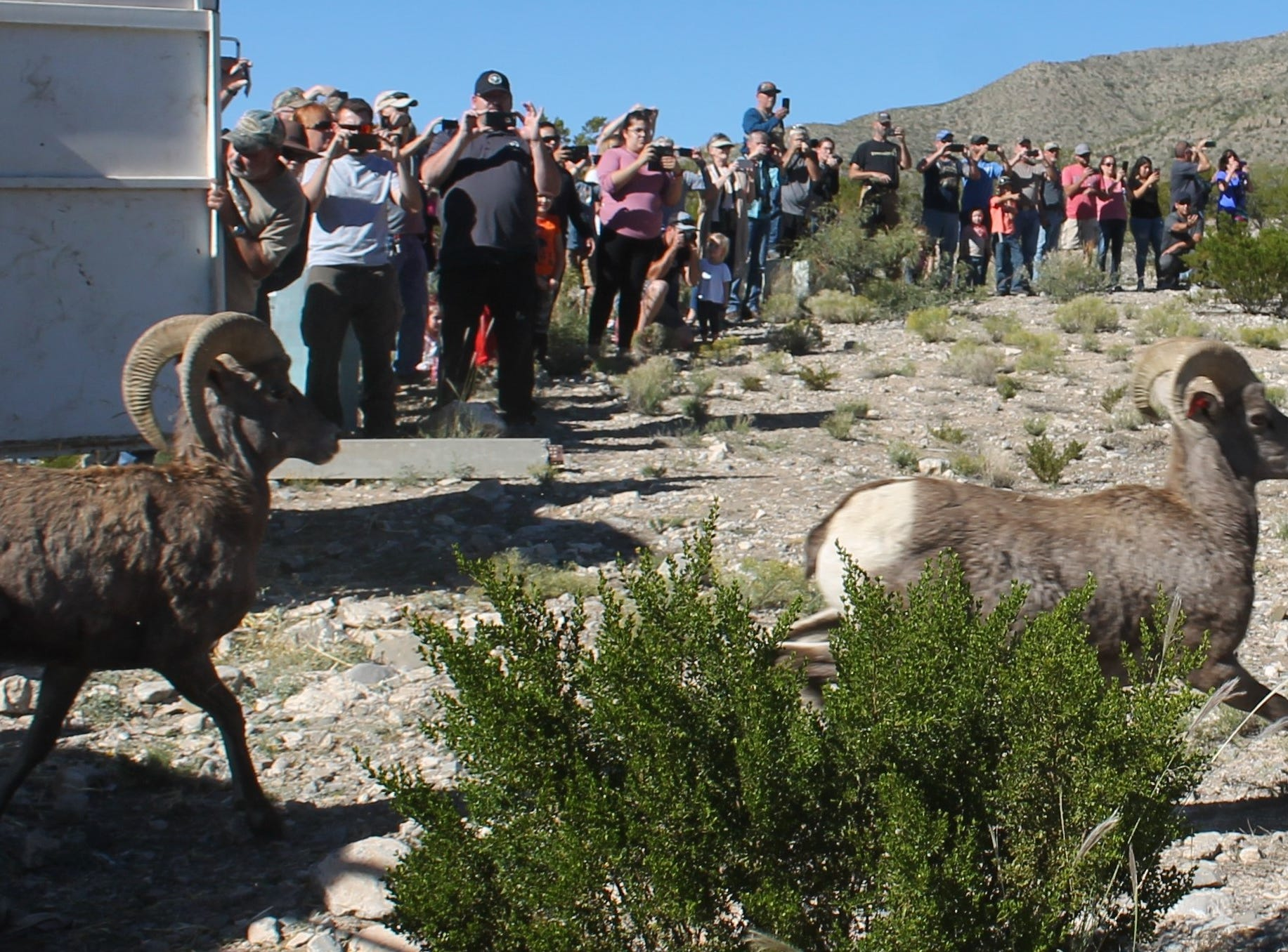 The New Mexico Game and Fish Department relocated about 40 bighorn sheep into the Sacramento Mountain in an area behind the Space Museum Saturday and Sunday.