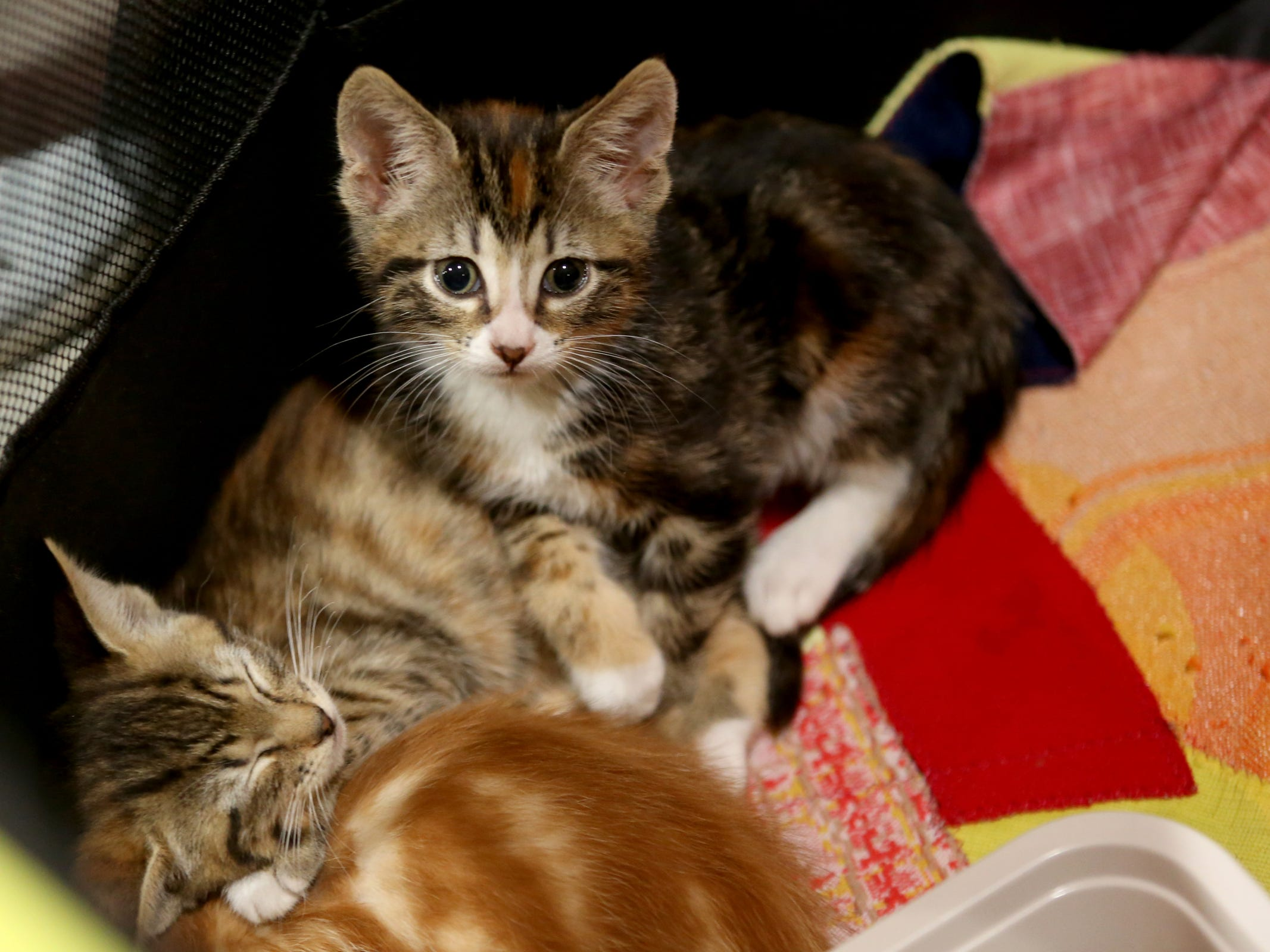 Kittens soon to be available for adoption at Bowser's Boo Bash, a fundraiser for the Willamette Humane Society, at the Salem Convention Center on Saturday, Oct. 27, 2018.