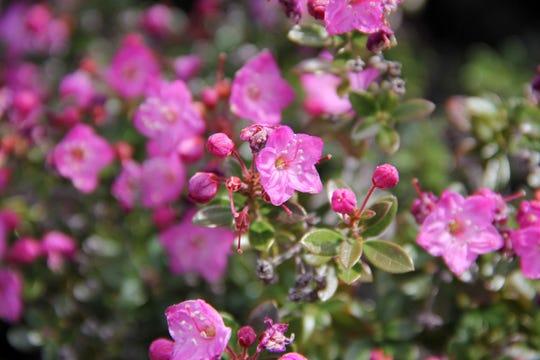 Kalmiopsis leachiana is a rare wildflower only found in southwest Oregon's Siskiyou Mountain and Kalmiopsis Wilderness area. The flowers here were found along the Illinois River Trail. Photo taken April 18, 2014.