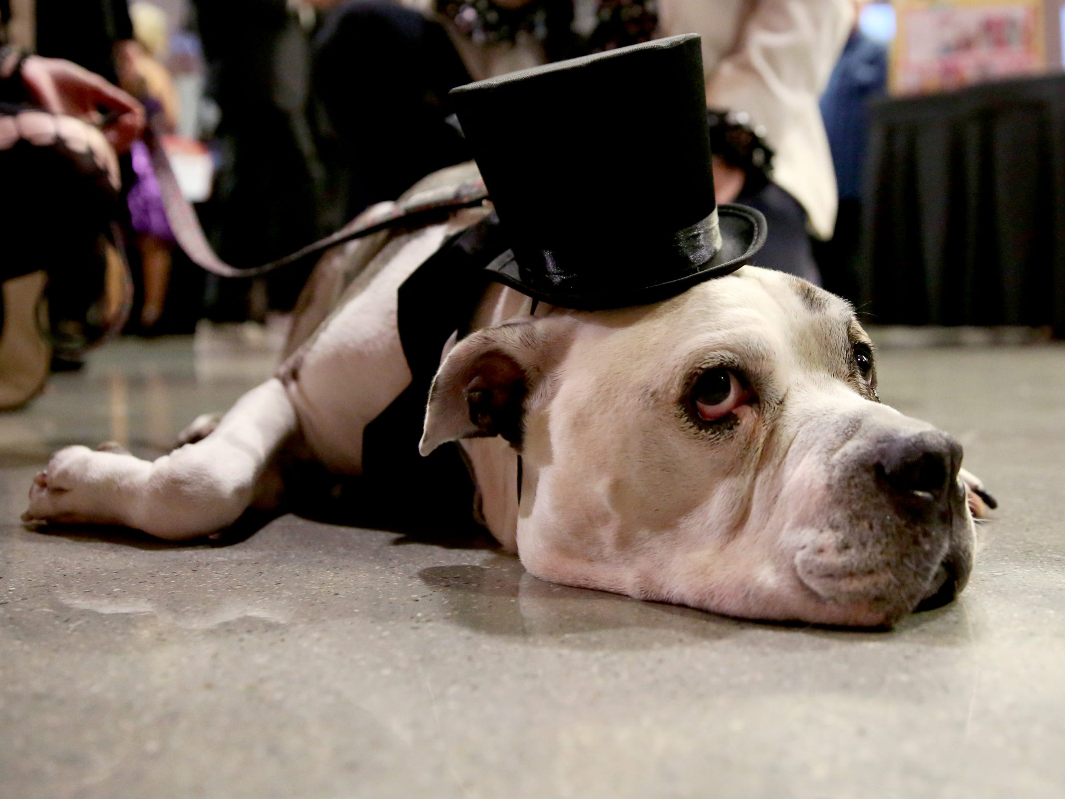Buddy, owned by Catharine Sutherland and Matt Kuerbis, of Salem, wears a top hat at Bowser's Boo Bash, a fundraiser for the Willamette Humane Society, at the Salem Convention Center on Saturday, Oct. 27, 2018. Buddy was adopted last year after initially coming to the Willamette Humane Society with tumors, eye damage and more health concerns.
