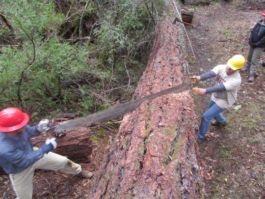 Members of the Ashland-based Siskiyou Mountain Club work to keep trails open in the Kalmiopsis Wilderness area using primitive tools such as a crosscut saw.