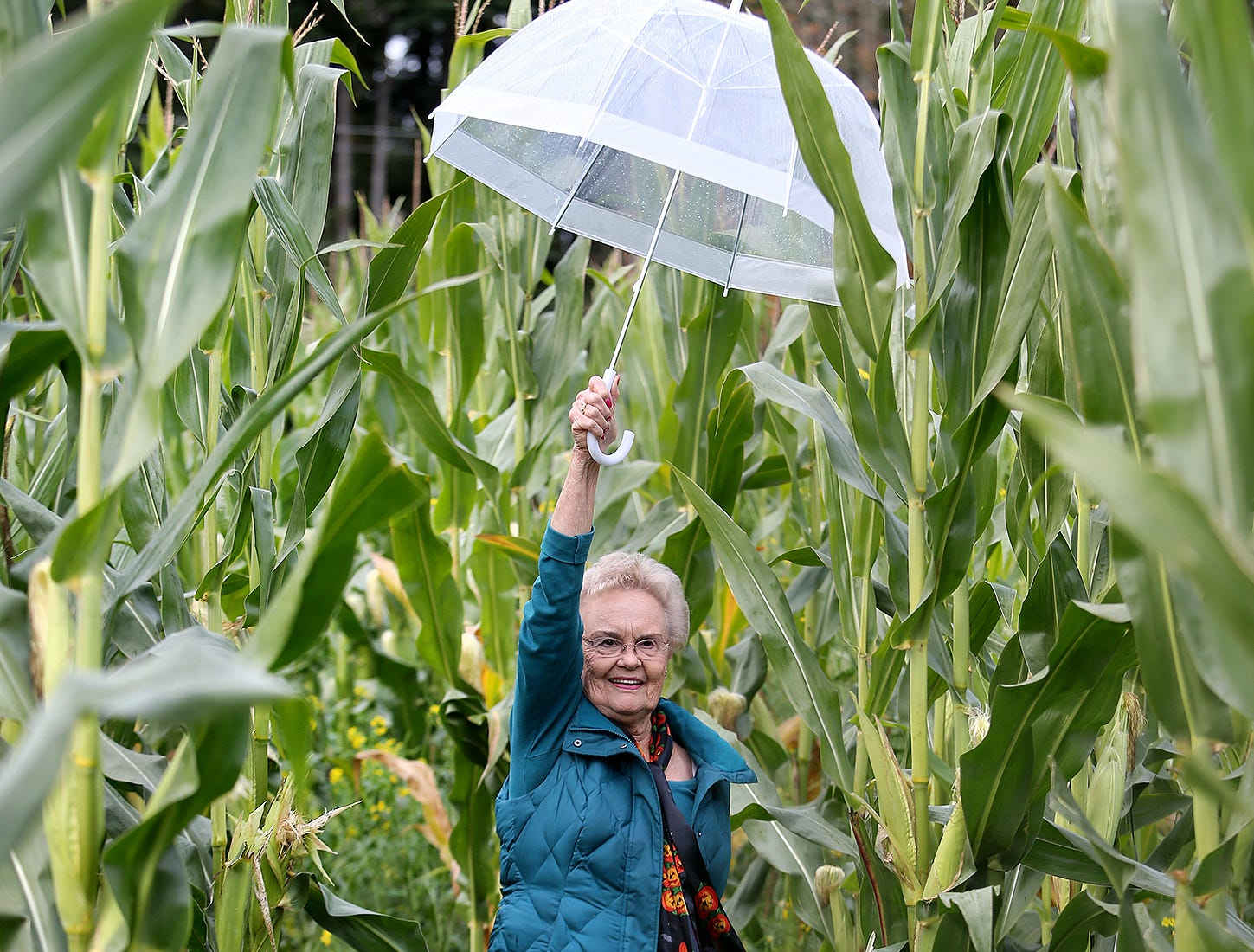 Carol Hostetter of Bremerton puts her umbrella up high to get through the corn stalks in the corn maze at Pheasant Fields Farms in Silverdale on Monday. The maze is open daily from 10 a.m. until 6 p.m . until November 1.