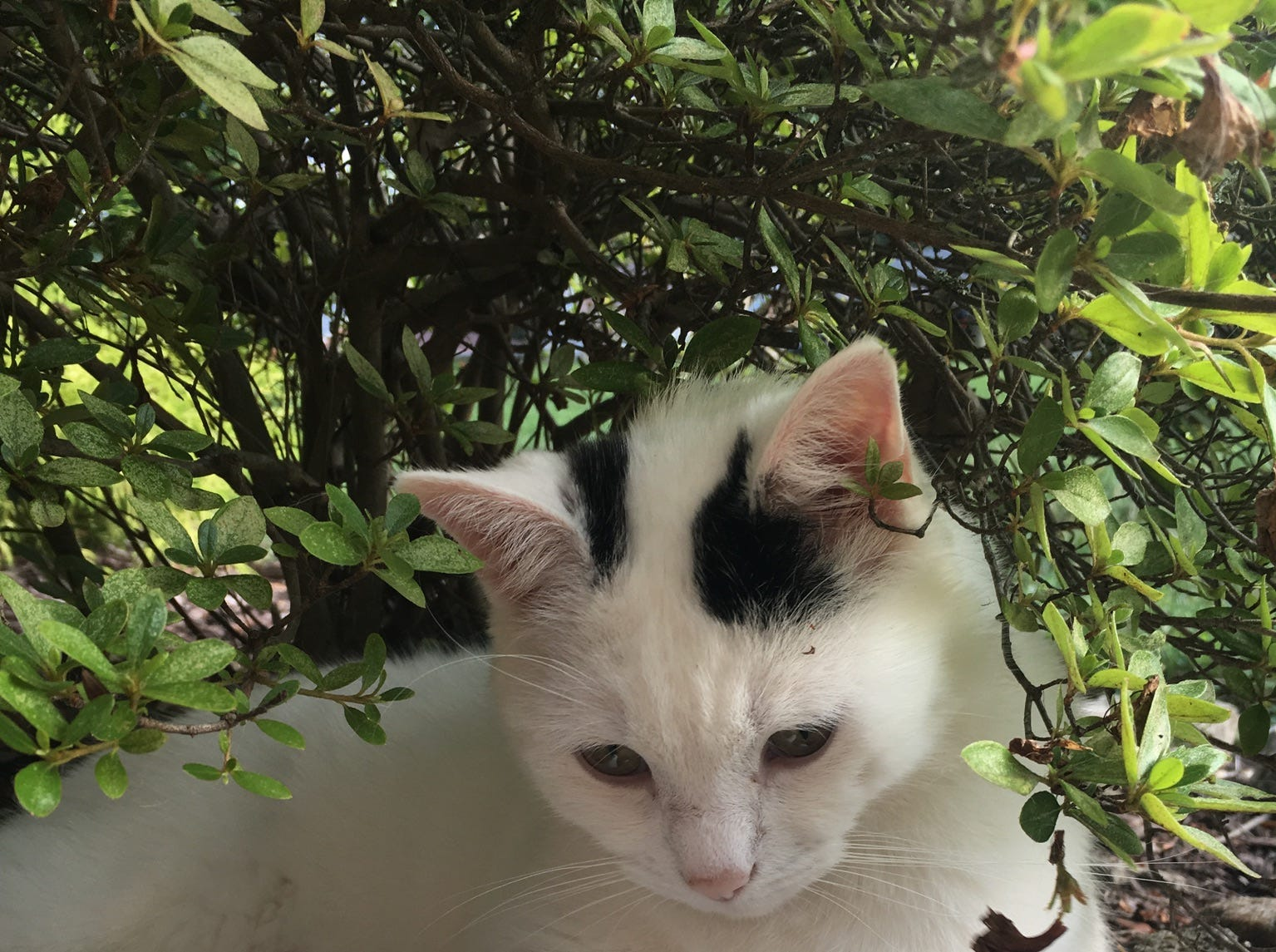 This is CC, the cat who rules the roost in the house occupied by Lisa Gillespie and Randy Tucker. He's sitting here in one of his favorite spots. He loves the outdoors, coconut almond chip ice cream and his Temptations cat treats!
