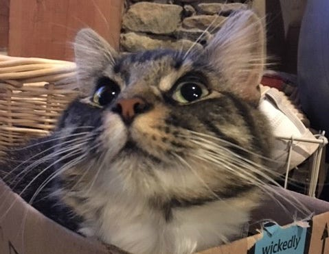 Sheila Vilvens' cat Finn is a box fiend. She says Finn is like water in that he takes the shape of whatever box he pleases.