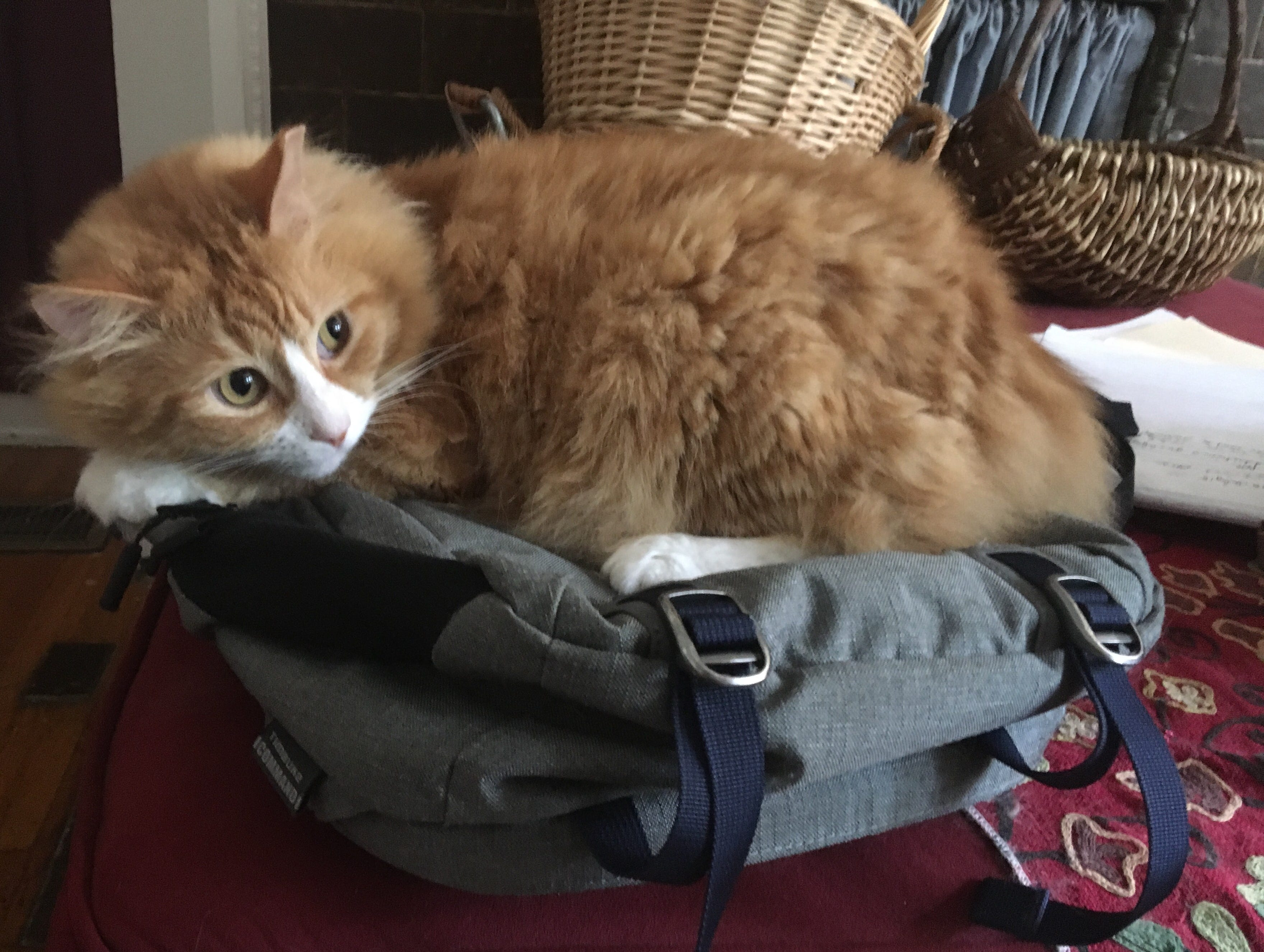 George, slavishly served by Anne Saker, is the chief correspondent in Walnut Hills for the global news organization Caturday Press International. His main job is to gently warm the laptop backpack.