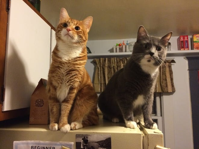 Rasputin Todd has more entertainment kitties! Tacocat and Carl Winslow are brothers and haven't spent a day apart. They are often seen doing the exact same thing, side-by-side.