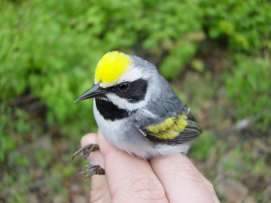 This male golden-winged warbler was color-banded at Sparta Mountain Wildlife Management Area in 2003, near Edison Swamp.