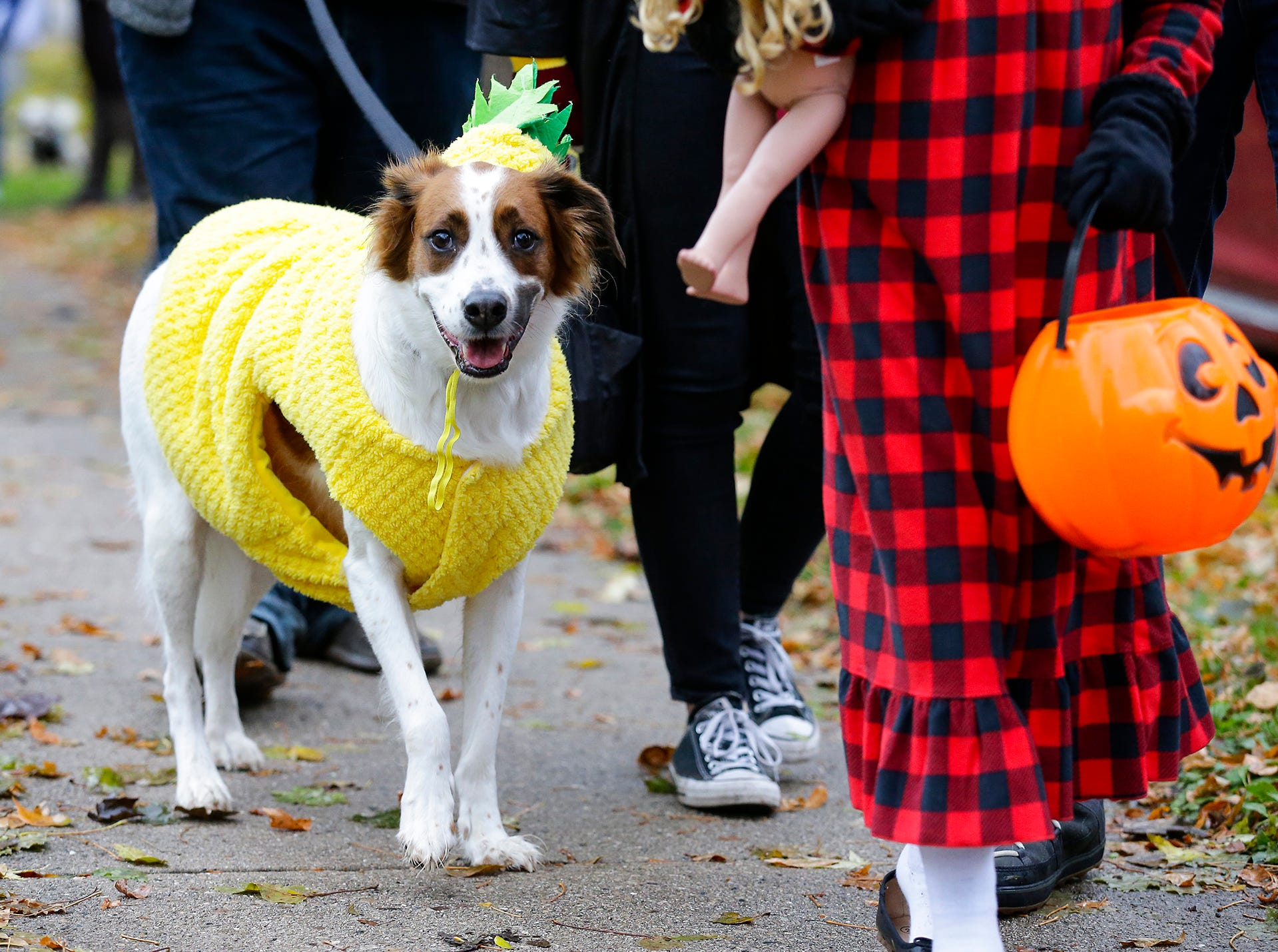 Jake, dressed as a pineapple, was out for trick or treat with his owners Mike and Laura Wright of Fond du Lac Sunday, October 28, 2018 in Fond du Lac, Wisconsin. Doug Raflik/USA TODAY NETWORK-Wisconsin
