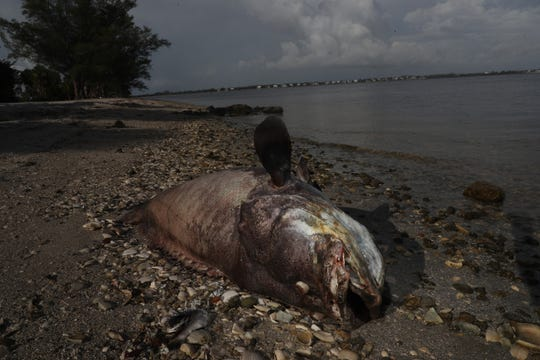 Dead sea life is still washing up on the shores of Southwest Florida. Two large Goliath Grouper were seen on the Sanibel Causeway on Wednesday 8/1/2018. The suspected cause of death is red tide poisoning.