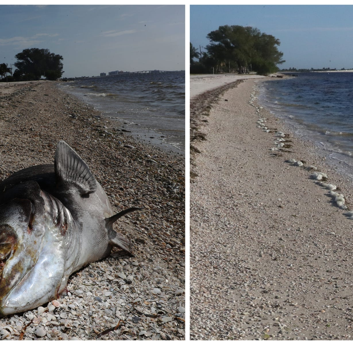 A dead Goliath grouper was photographed on the Sanibel Causeway on Aug. 1, 2018. An image from the same beach was recaptured on Oct. 23, 2018.