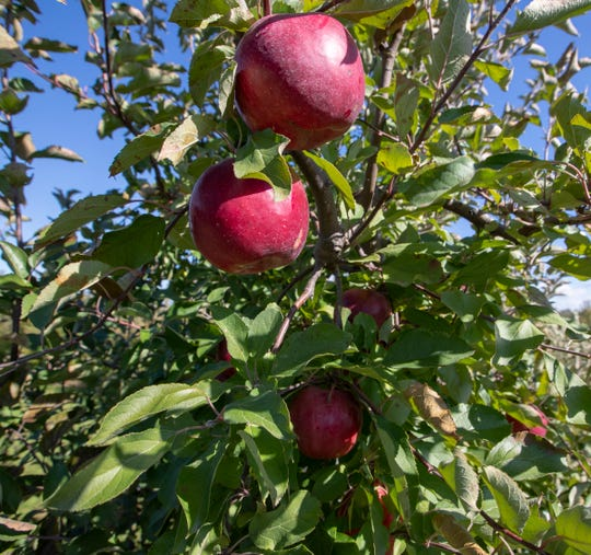 Beasley's Orchard allows you to pick your own apples fresh from the tree.