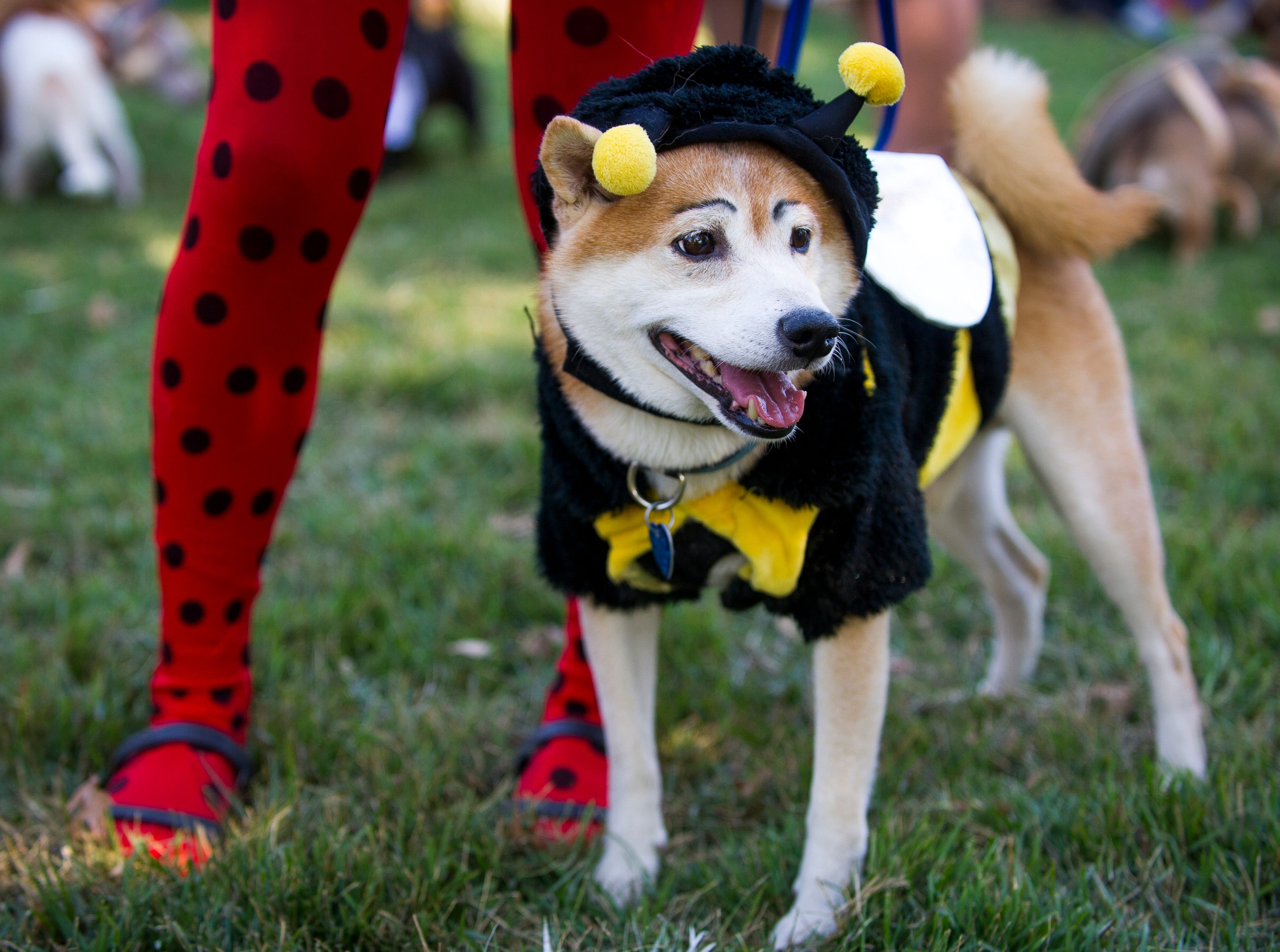 Koda, a Shiba Inu, dressed as a bumble bee for the Howl-O-Ween Pooch Parade held at UT Gardens in Knoxville on Sunday, Oct. 23, 2016.