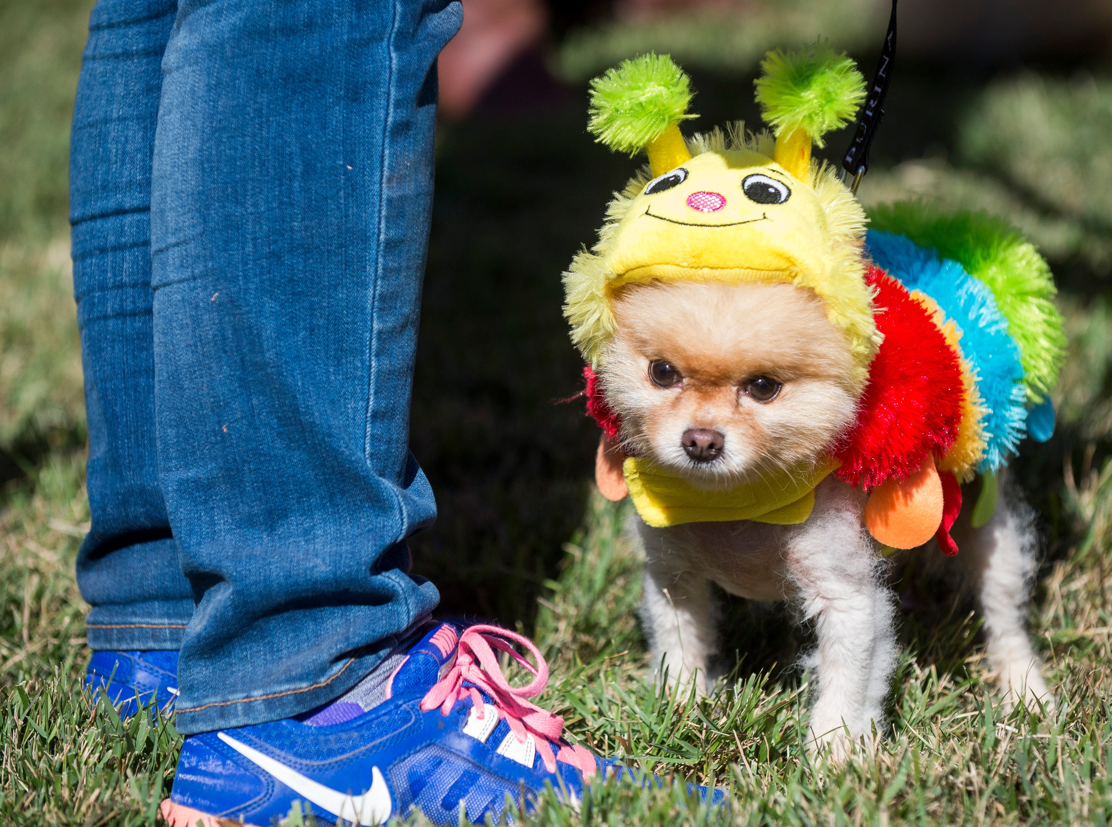 Dogs were dressed up in a variety of costumes at the Howl-O-Ween Pooch Parade held at UT Gardens in Knoxville on Sunday, Oct. 23, 2016.