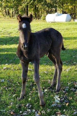 Timothy and Elizabeth's horse Shiann has a new colt.