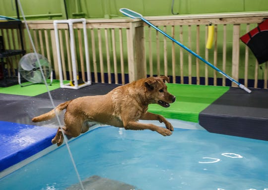 Stella, a Red Fox Lab, leaps into the indoor heated dog pool at Aqua Therapups in Slinger on Monday, Oct. 29, 2018. The business is opening a second location in Brookfield this November.