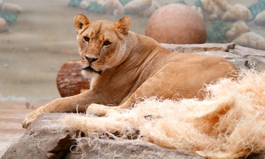 Amali the lion is hanging around at the Milwaukee County Zoo; on Saturday, you can, too - for free.