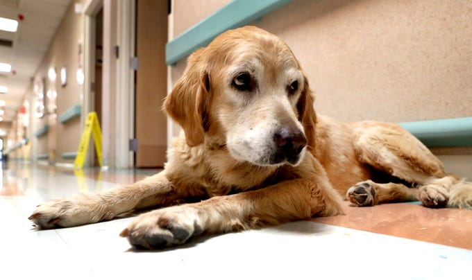 Goldie The Community Care Of Rutherford County Dog