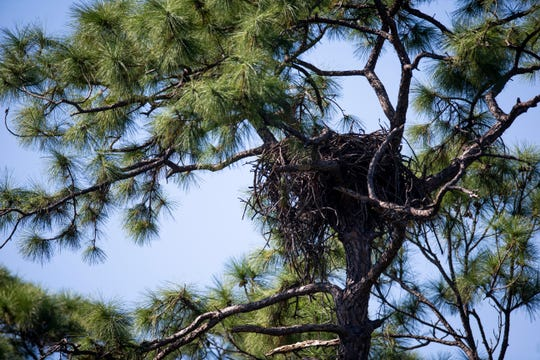 A bald eagle's nest sits in a tree near a construction site on Monday, October 29, 2018, at St. Leo Catholic Church in Bonita Springs.