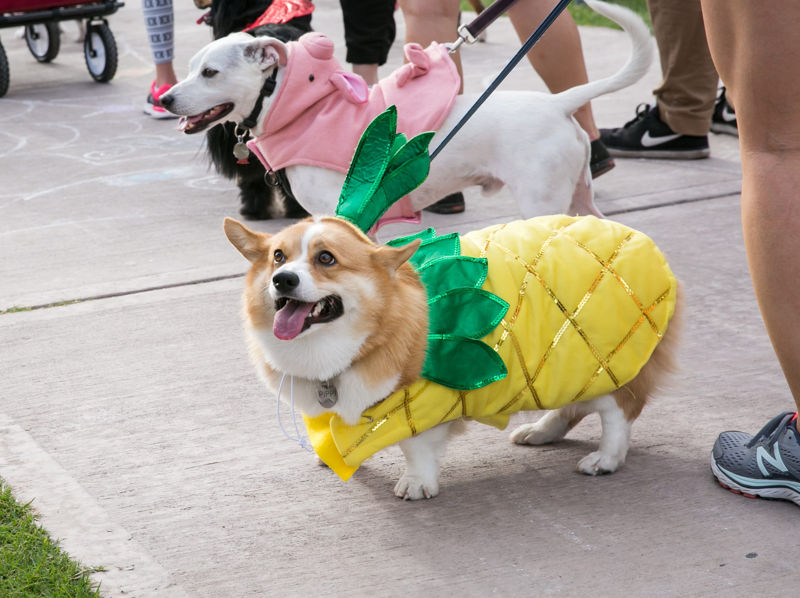 This corgi enjoyed pina coladas and getting caught in the rain during Howl-o-Ween at Hance Park on Sunday, October 28, 2018.