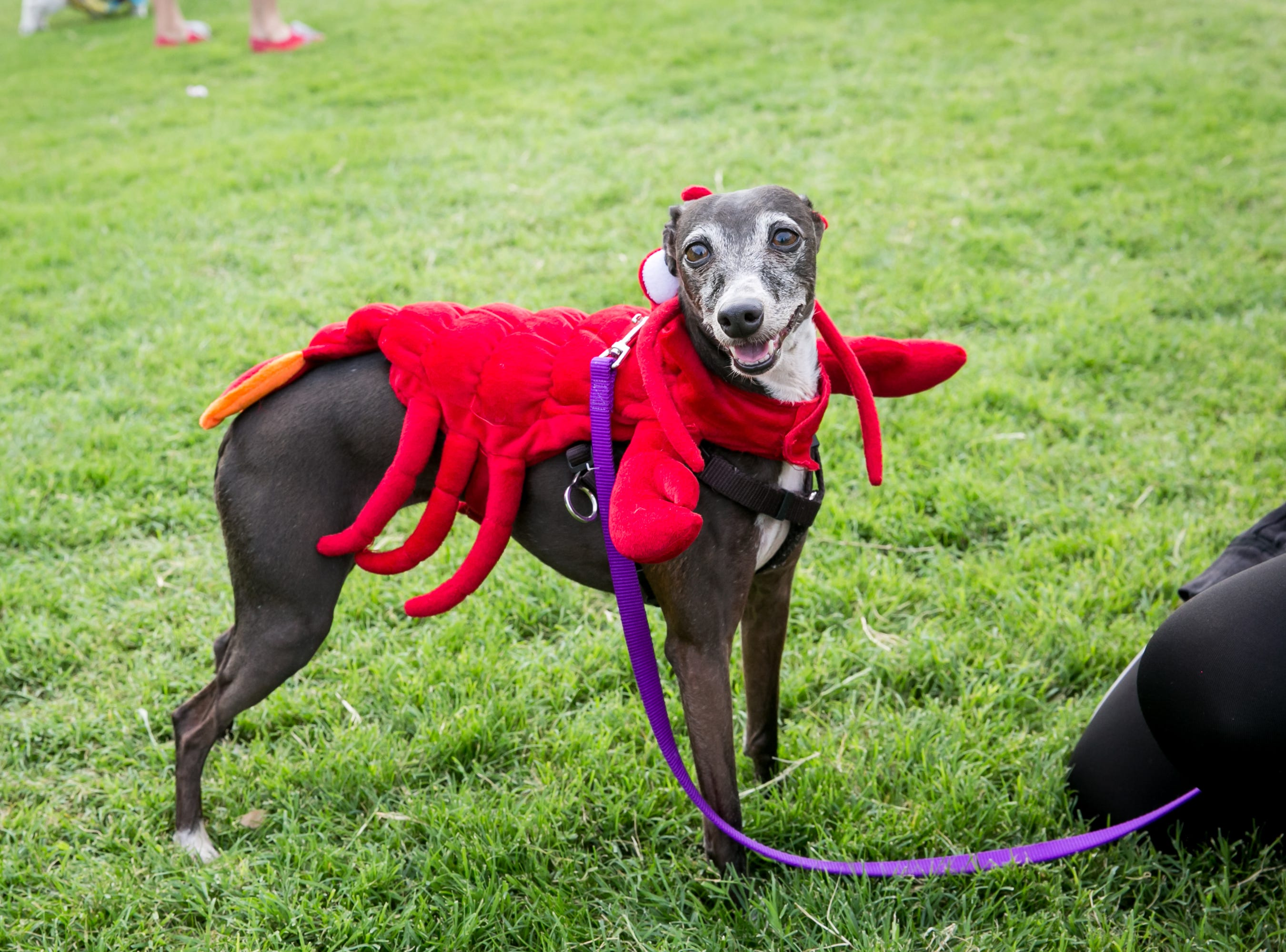 Lobster dog was too cute during Howl-o-Ween at Hance Park on Sunday, October 28, 2018.