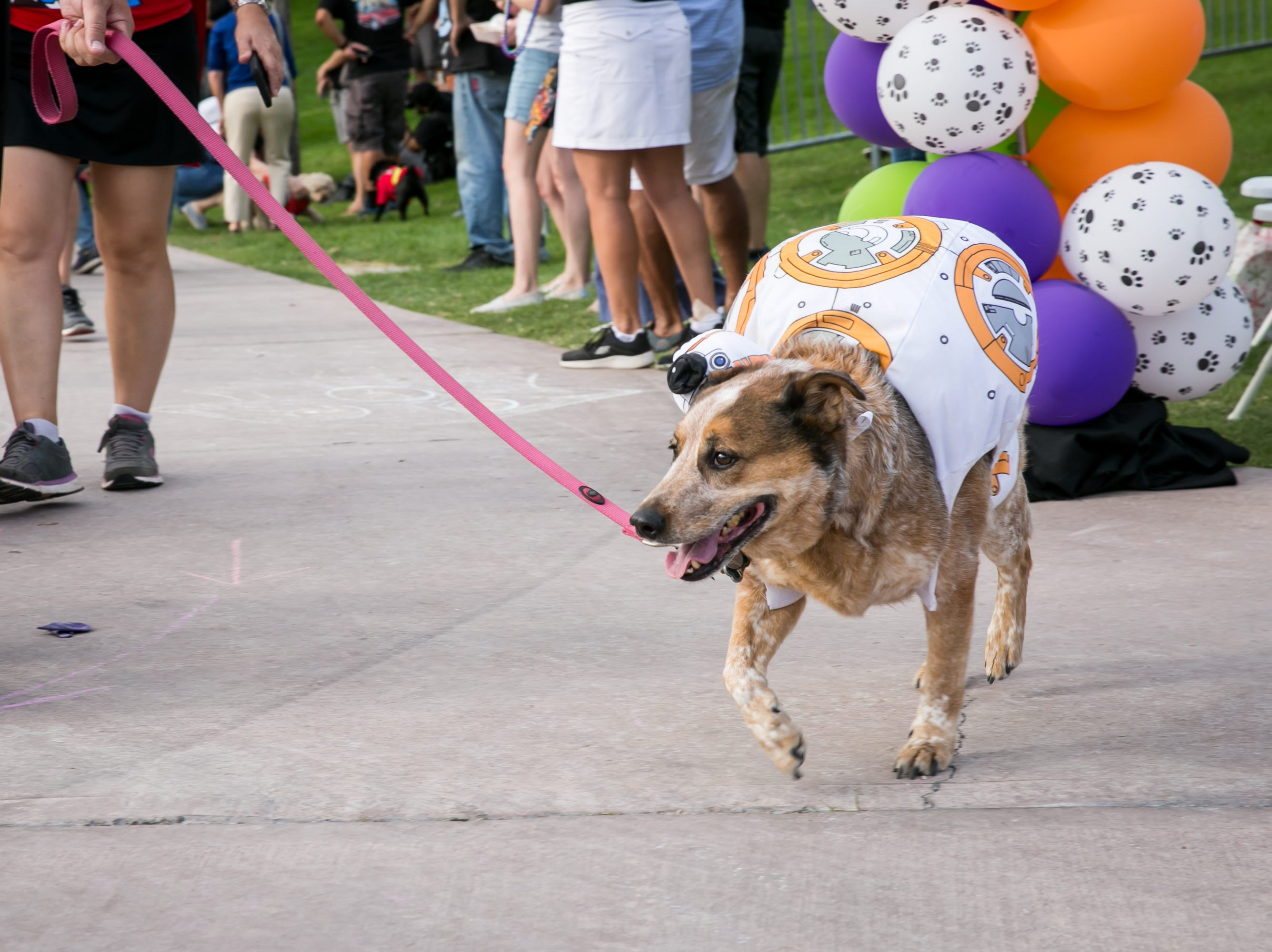 BB-8 dog looked precious during Howl-o-Ween at Hance Park on Sunday, October 28, 2018.