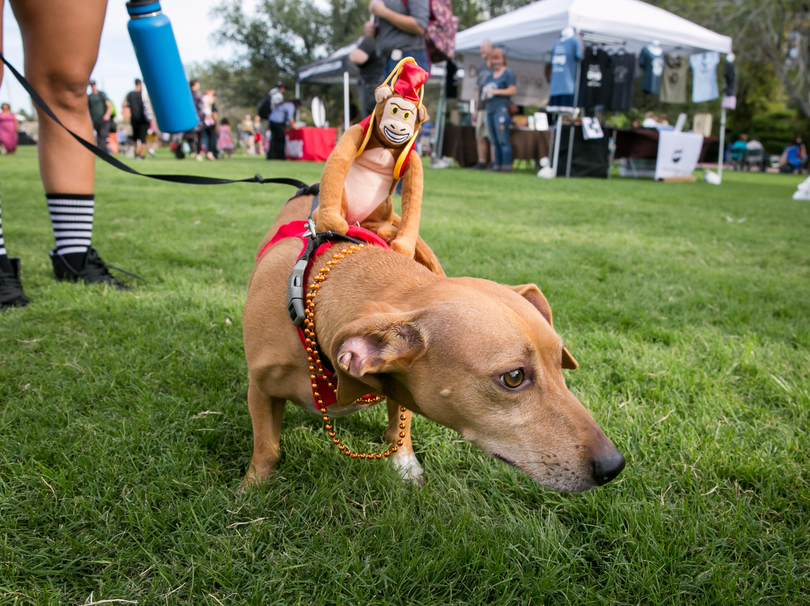 This dog monkeyed around during Howl-o-Ween at Hance Park on Sunday, October 28, 2018.