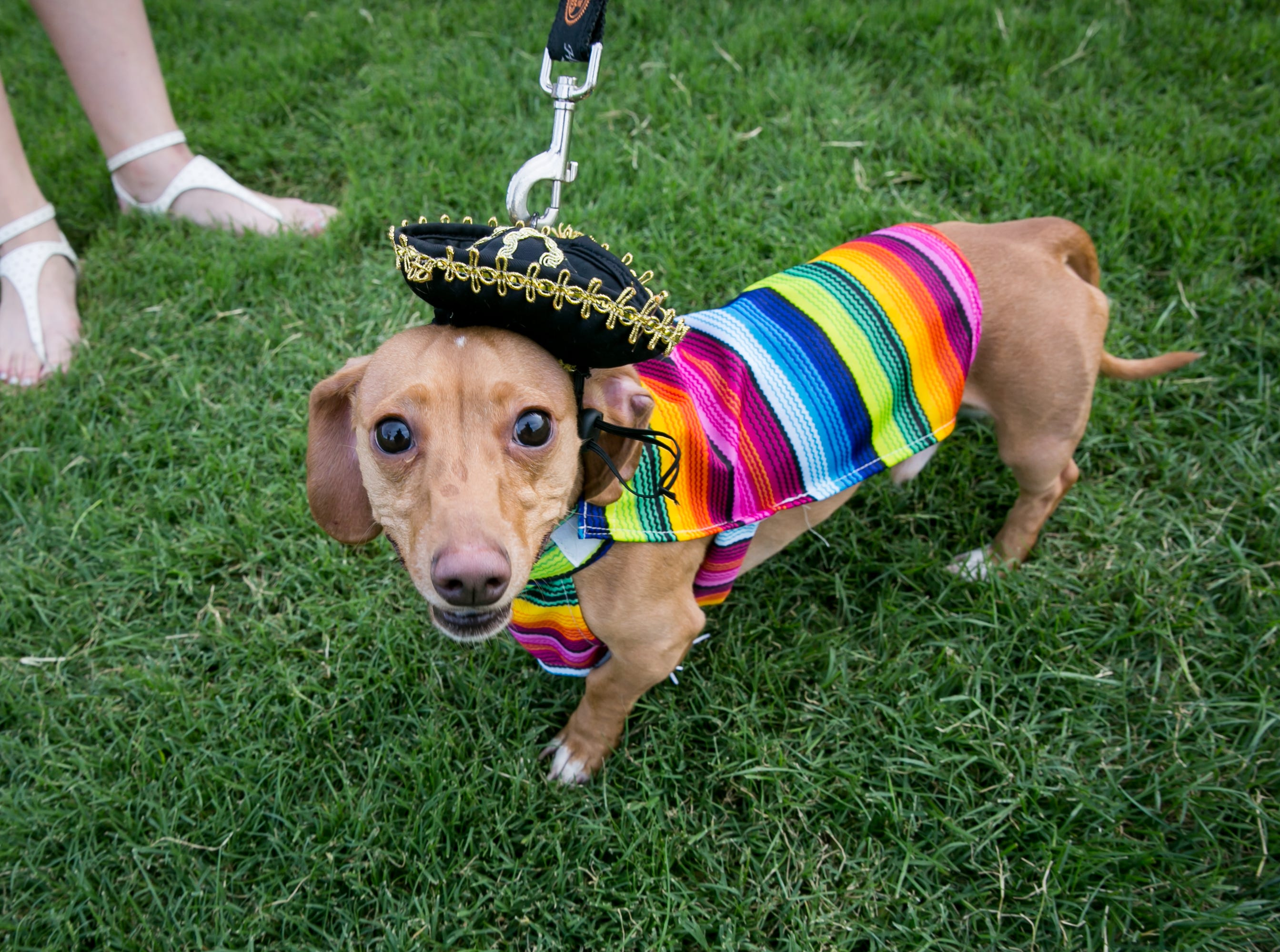 This little guy enjoyed a fiesta and a siesta during Howl-o-Ween at Hance Park on Sunday, October 28, 2018.