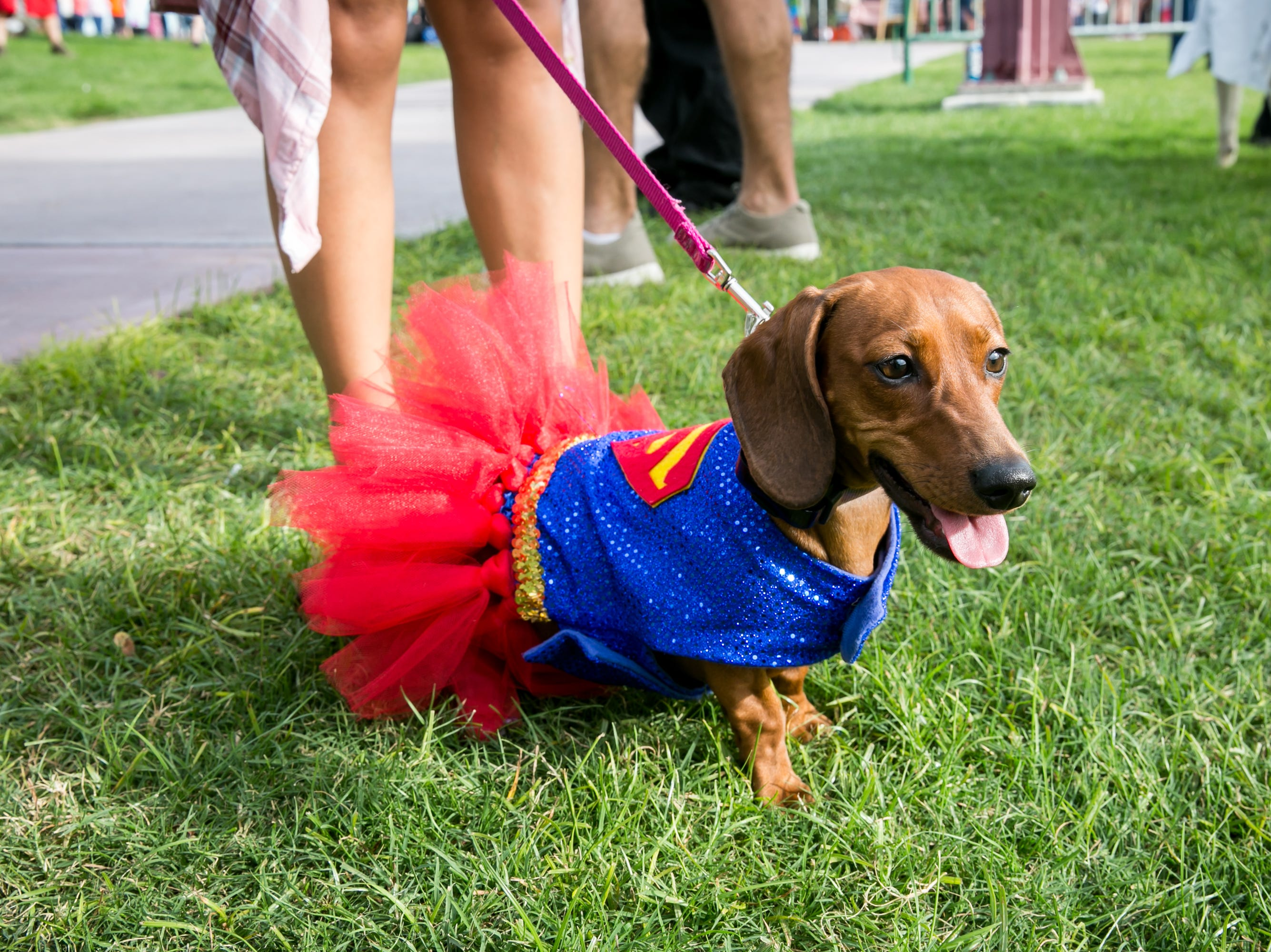 This Superman dog looked adorable during Howl-o-Ween at Hance Park on Sunday, October 28, 2018.