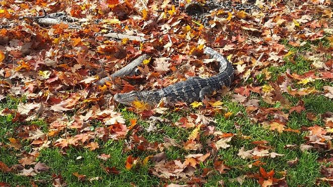 An alligator was found in Waryas Park on Monday.