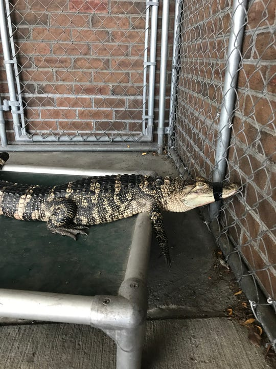 An alligator lies in a cage in the City of Poughkeepsie Police Department Monday.