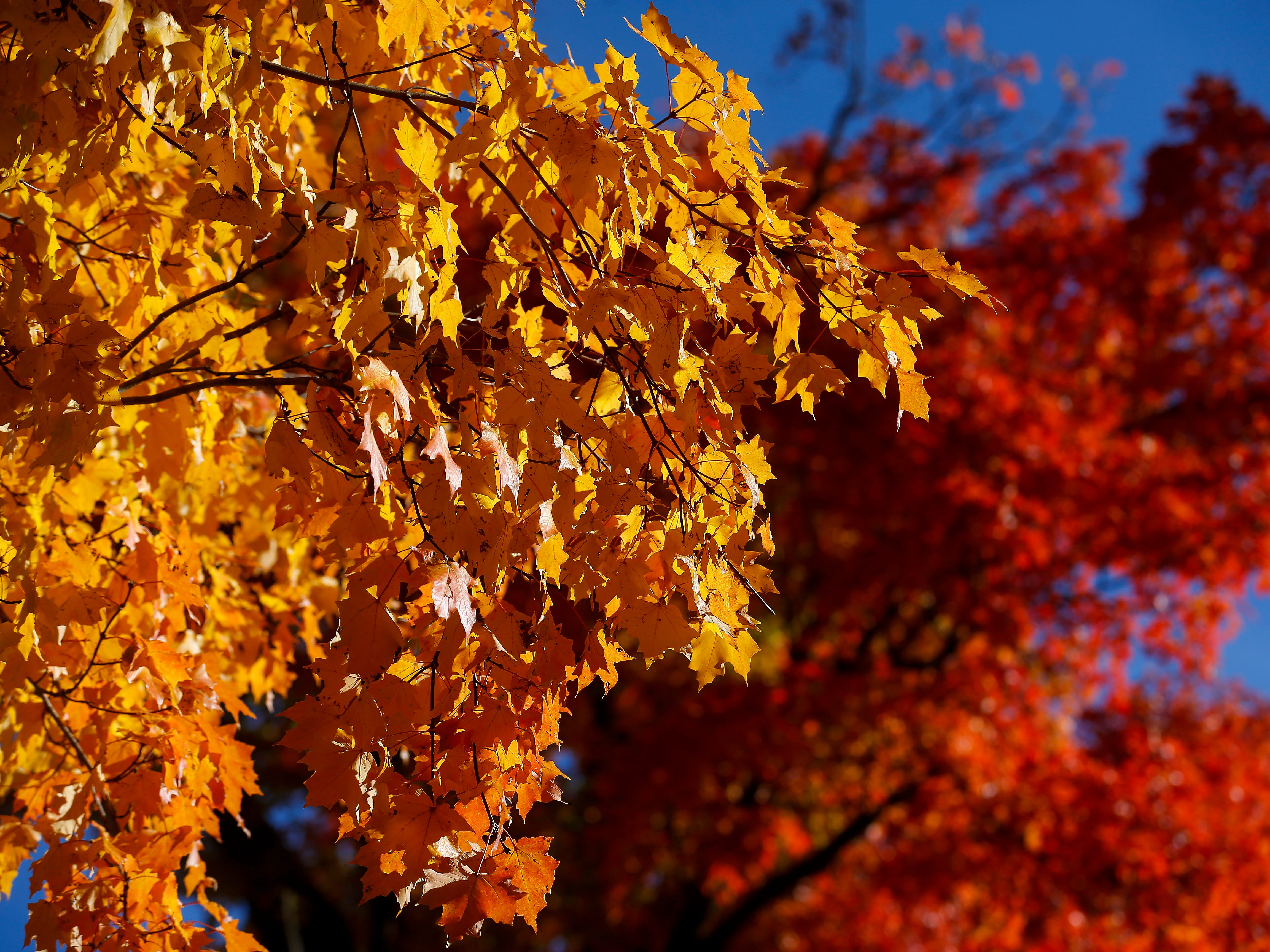 The leaves are aglow with color at Maple Park Cemetery on Monday, Oct. 29, 2018.