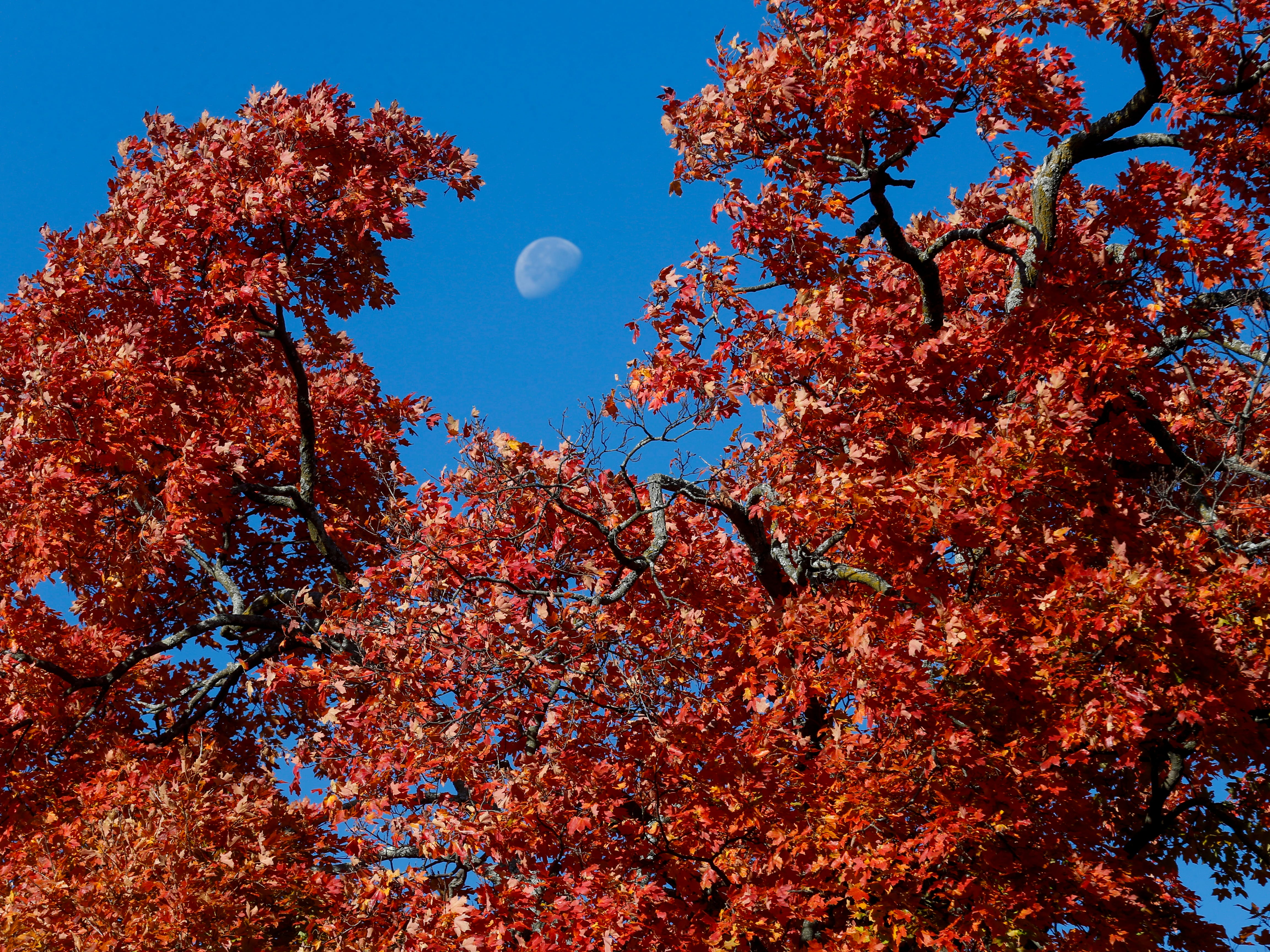 The moon sets behind a colorful tree at Maple Park Cemetery on Monday, Oct. 29, 2018.
