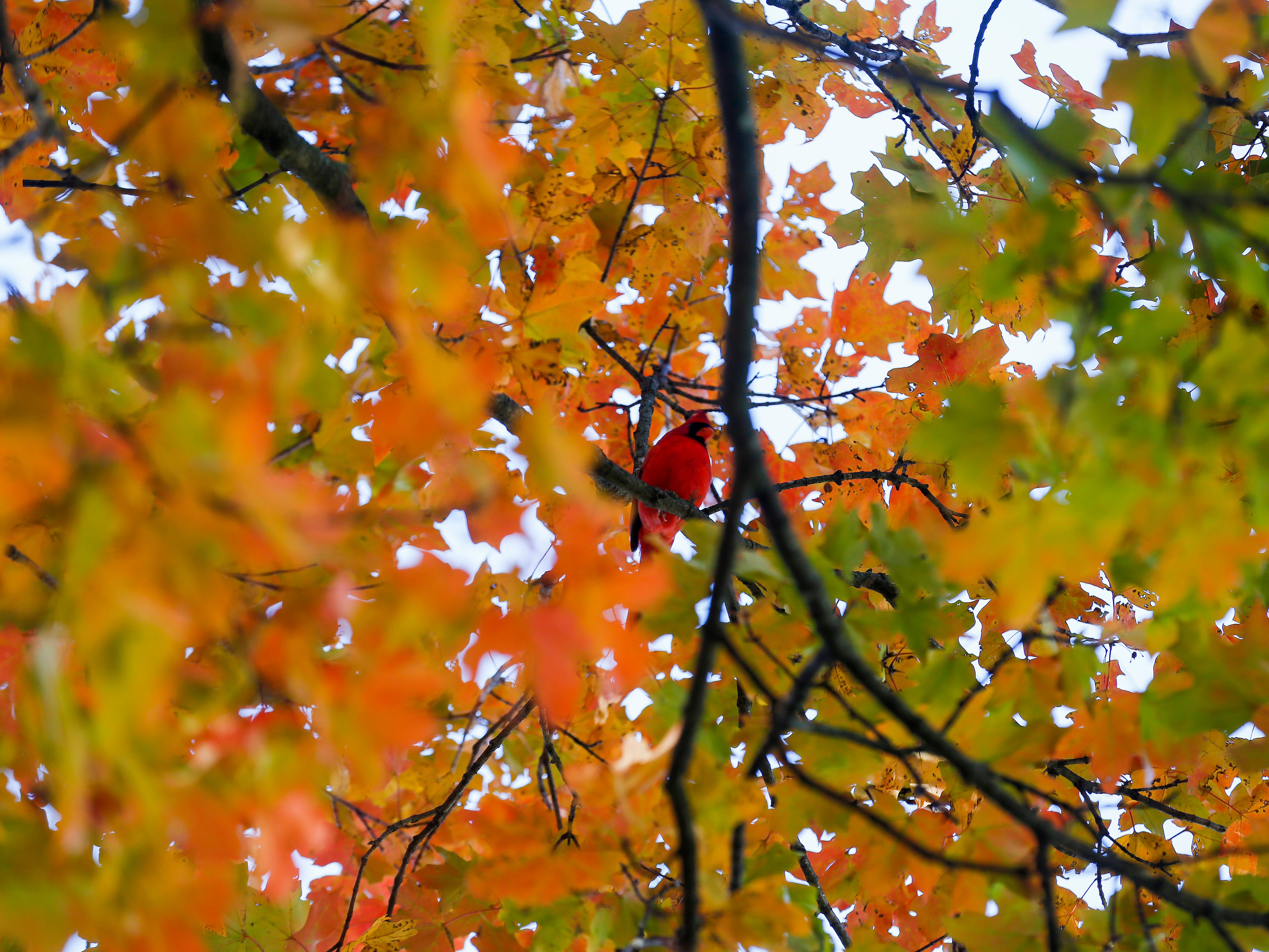 A cardinal perches on a limb amongst the fall colors at Maple Park Cemetery on Monday, Oct. 29, 2018.