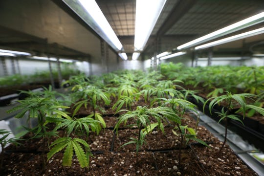 Cloned plants at the Trulieve medical marijuana facility in Quincy on Wednesday, Feb. 1, 2017.