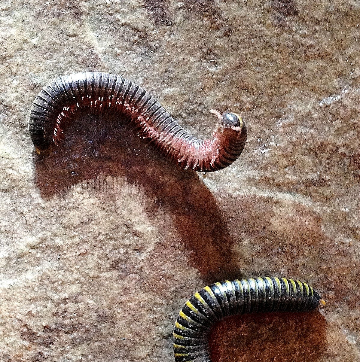 You may be seeing hundreds of millipedes on Treasure Coast, but they are harmless