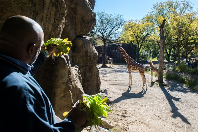 Camden County Freeholder Jon Young entices a giraffe with fresh greens grown in Blackwood, N.J. at the Philadelphia Zoo Tuesday, Oct. 30, 2018 in Philadelphia, Pa. Camden County's Office of Sustainability partnered with the Philadelphia Zoo to supplement its animal nutrition program.