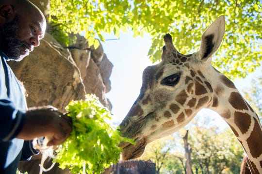 Camden County Freeholder Jon Young feeds fresh greens grown in Blackwood, N.J. to a giraffe at the Philadelphia Zoo Tuesday, Oct. 30, 2018 in Philadelphia, Pa. Camden County's Office of Sustainability partnered with the Philadelphia Zoo to supplement its animal nutrition program.