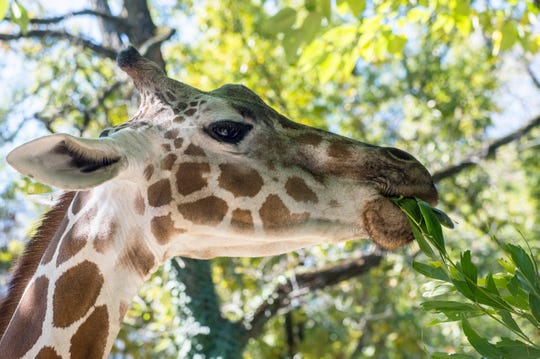 "A giraffe is fed at the Philadelphia Zoo in this Courier Post file photo. The zoo is currently closed due to the coronavirus pandemic but is featuring ""Philly Zoo at 2""on its Facebook page each day."