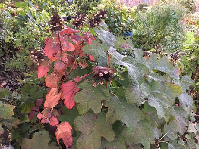 'Sike's Dwarf' oakleaf hydrangea has only partially taken on its usually reliable wine-red leaves.