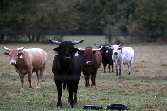 Cattle roam in a field near the potential development of Quinn Ridge in a rural area of Collierville, where current residents have a community with low-density, residential plots of land.