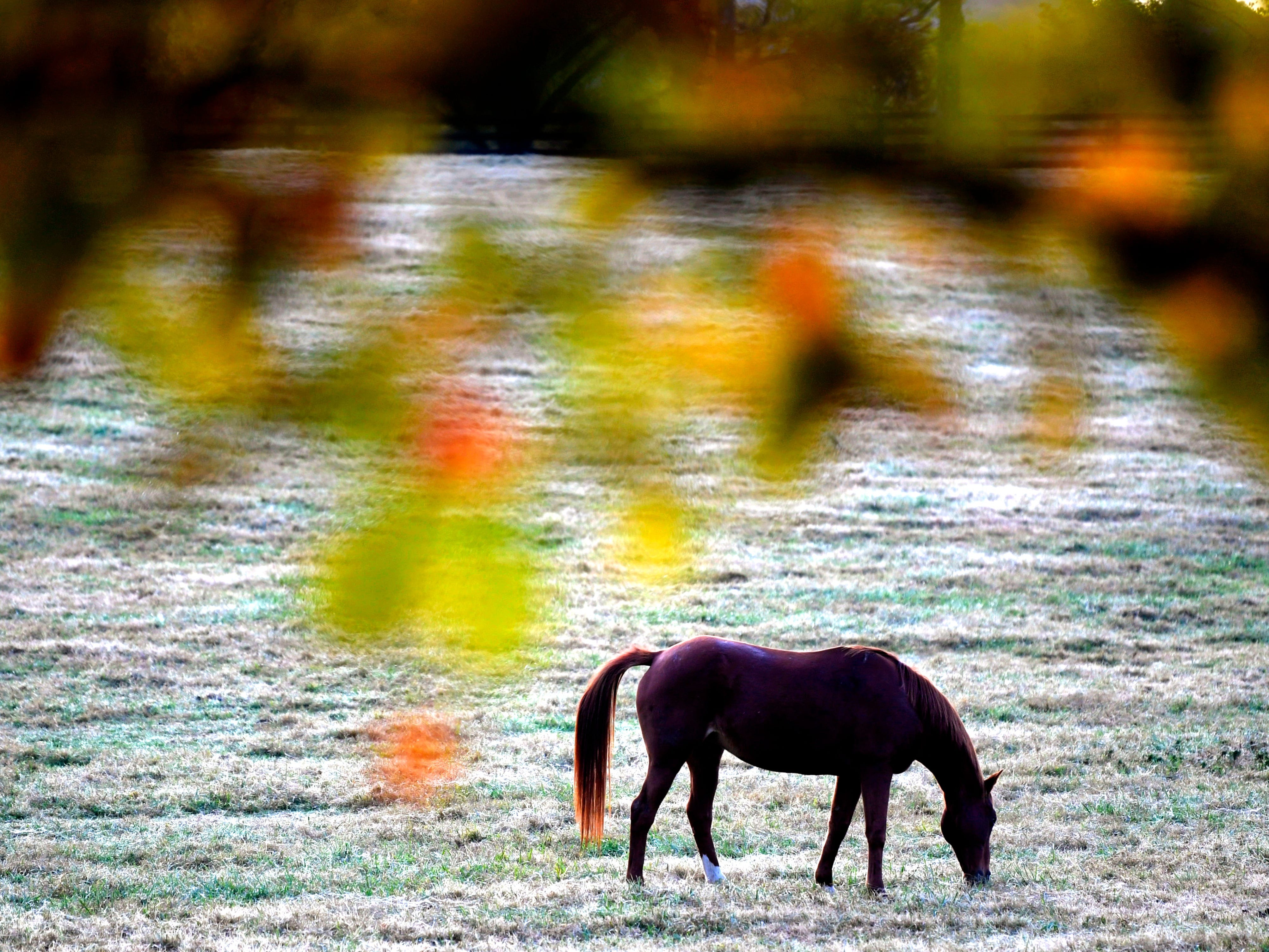 A horse gazed on a Franklin, Tenn. farm while some trees on the farm start to change colors on Tuesday, Oct 30, 2018.