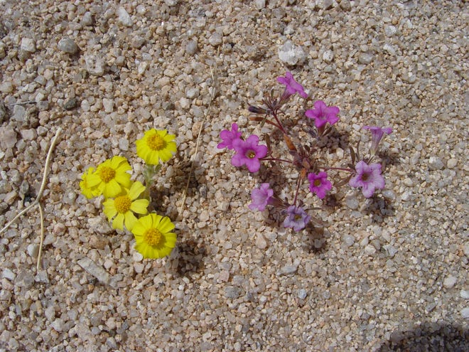 Tiny gem wildflowers established in dry washes are killed off when grading occurs.